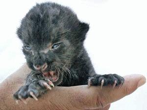 Doi pui de jaguar si un leu s-au nascut intr-o Gradina Zoologica din Mexic
