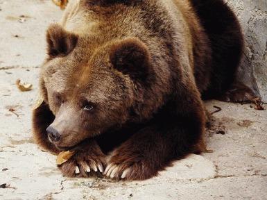 Atentie la ursii beti!