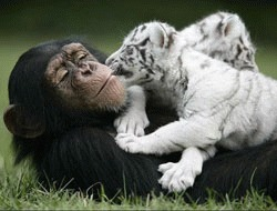 Un cimpanzeu a adoptat doi pui de tigru, intr-un zoo din Miami