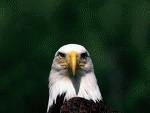 Vulturul de mare se intoarce in Marea Britanie