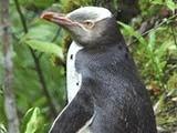 Oamenii de stiinta au descoperit un pinguin disparut acum 500 de ani