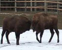 O noua rezervatie de zimbri a fost amenajata la Vama Buzaului, judetul Brasov