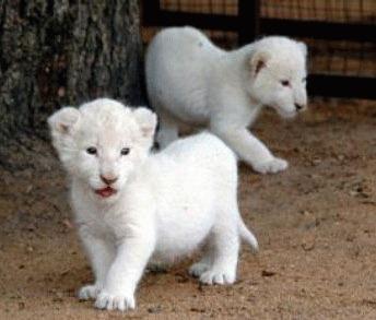 Primii 2 lei albi s-au nascut la Belgrad