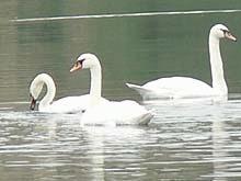 Lebedele ierneaza pe lacul Fecioarei din Parepa