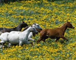 Caii se recunosc intre ei dupa nechezat