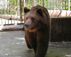 Trei ursi infometati au fost dusi in rezervatia din Zarnesti