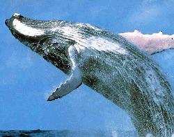 Scafandrii mexicani au eliberat o balena prinsa intr-o plasa de pescuit