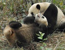 Cei 2 panda cadou ajung in Taiwan