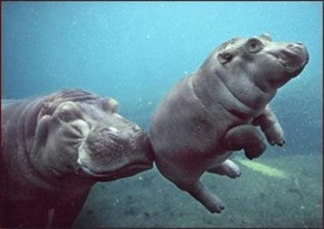 Puiul de hipopotam jucaus de la Berlin
