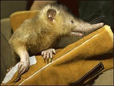 O noua specie demonstreaza ca mamiferele erau veninoase