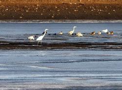 Egrete si rate salbatice la iernat pe Bega