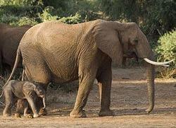 Elefantii isi bat puii neascultatori