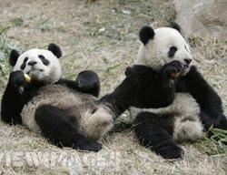 Acces restrictionat la vedetele panda din Taipei
