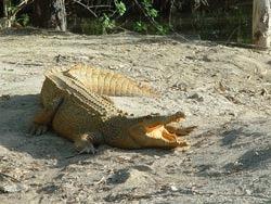 O infectie a provocat moartea a 170 de crocodili din parcul Kruger