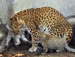 Doi leoparzi foarte rari s-au nascut la zoo Jardin des Plantes din Paris