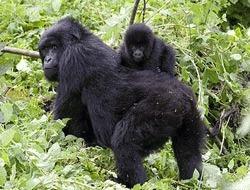 Testele ADN arata ca sunt mai putine gorile de munte decat se credea