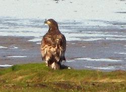 Vulturul de mare revine in Anglia dupa 200 de ani