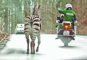 Nu calcati pe zebra!