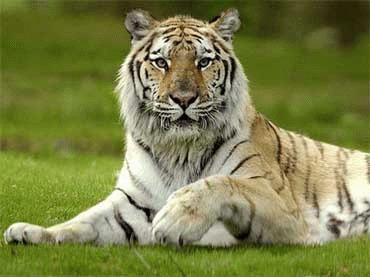 Un tigru din cea mai rara subspecie a fost zarit in China