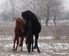 Mustangul de Romania