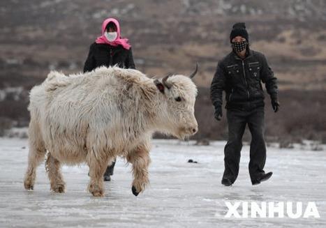 Inmultire neasteptata a iacilor albi din China