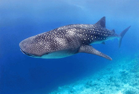 Cel mai mic rechin-balena din lume