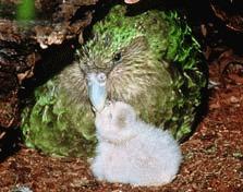 Sezon prolific pentru Papagalul Kakapo