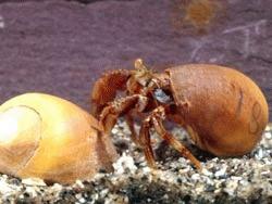 Crabii simt durerea si isi amintesc ulterior de aceasta