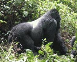 Gorilele au adus 225 de milioane de dolari pentru Uganda