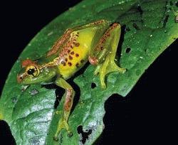 200 de specii noi de amfibieni au fost descoperite in Madagascar