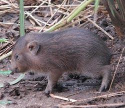 Cei mai mici porci din lume se adapteaza in salbaticia din India