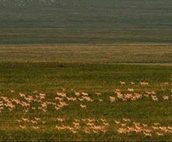 Cea mai mare turma de gazele vazuta vreodata, in Mongolia
