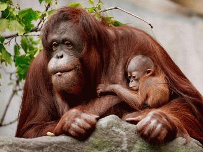 Defrisarile masive ameninta habitatul urangutanilor si tigrilor indonezieni