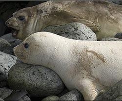 O foca-elefant alba, extrem de rara, a fost fotografiata de cercetatori