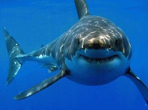 Imblanzirea rechinului