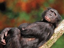 Cimpanzeii pot sa traseze harti in minte