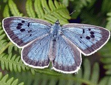 Fluturele care imita furnicile dezvaluie secretele conservarii