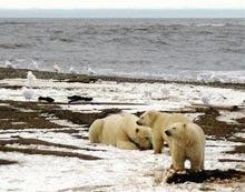Din ce in ce mai putini ursi polari in Alaska