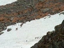 Caprele negre din Parcul National Muntii Rodnei s-au imputinat
