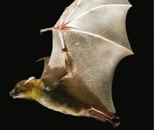 Noua specie de lilieci descoperita in insulele Comoros