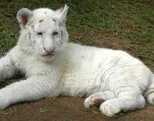 Tigru bengalez alb fara dungi nascut in Africa