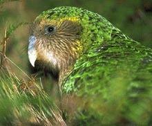 Cel mai greu papagal din lume s-a inmultit cu 26 de exemplare