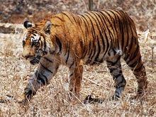 Rezervatia de tigri Panna din India a ramas fara tigri