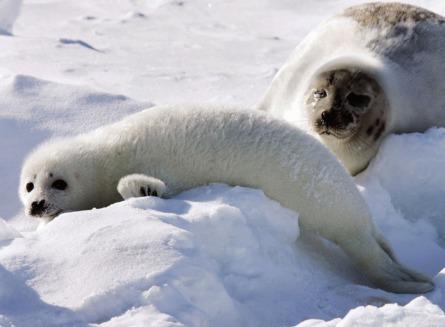 UE a interzis oficial comertul cu produse din foca