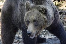 Patru ursi eliberati din Pantelimon