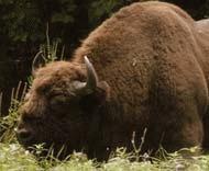 Zimbrul, amenintat in continuare cu extinctia