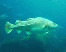 Bolovani aruncati in mare pentru protejarea pestilor cod