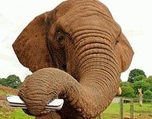 Un elefant african a invatat sa cante la muzicuta
