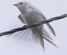 Randunica alba vazuta in Scotia