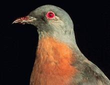 Ornitologii cauta pasari disparute de 200 de ani